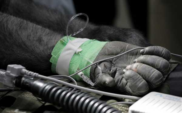 "<div class=""meta image-caption""><div class=""origin-logo origin-image ""><span></span></div><span class=""caption-text"">The hand of Bakari, a 6-year-old male western lowland gorilla rests on an examination table as members of the Veterinary Services Department within the Chicago Zoological Society perform physicals on two of the Brookfield Zoo's six gorillas, Thursday, March 10, 2011, in Brookfield, Ill. During the physicals performed every couple of years, the team draws blood to test cholesterol, metabolism, kidney and liver functions, performs dental and eye exams, takes radiographs of the chest and abdomen, and the team also does a cardiac ultrasound.  ((AP Photo/M. Spencer Green) )</span></div>"